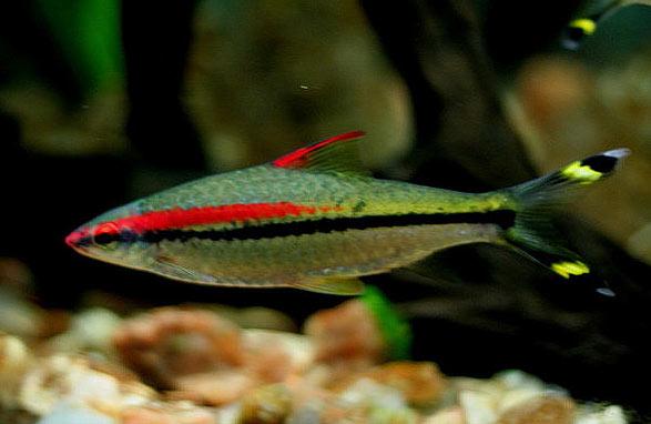 Puntius Deni Soni Barb Fish