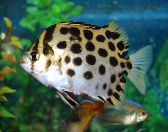 ... green puffer fish, mono angel fish, mono sebae fish, scat fish, red