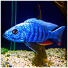 Electric Blue Fish