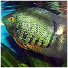 Green Severum Fish