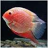Red Spotted Severum Fish
