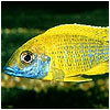 Yellow Peacock Fish